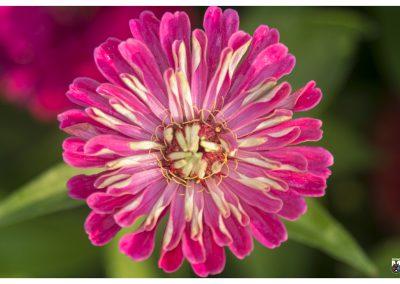 7-8-14-11-pink-macro-flower