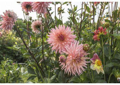 7-8-14-5-pink-flower