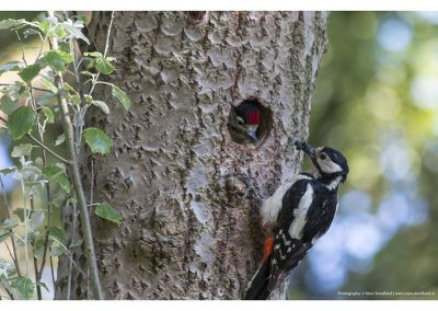 feeding-woodpecker-with-baby-01-06-2014