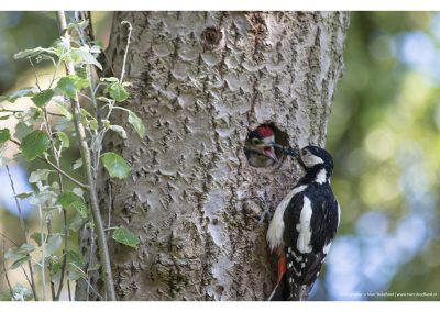 feeding-woodpecker-with-baby2-01-06-2014