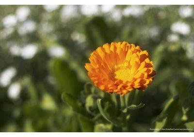 golden-flower-15-6