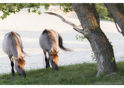 paarden2-meijendel-18-5-2014