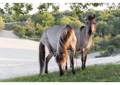 paarden3-meijendel-18-5-2014