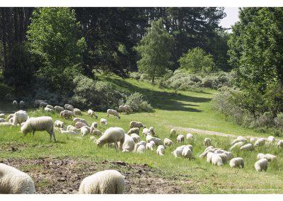 sheep-01-06-2014