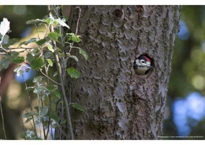 woodpecker-baby-01-06-2014